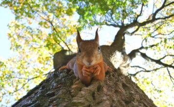 Is a squirrel a rodent?